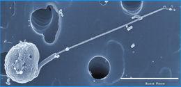Image of Micromonas