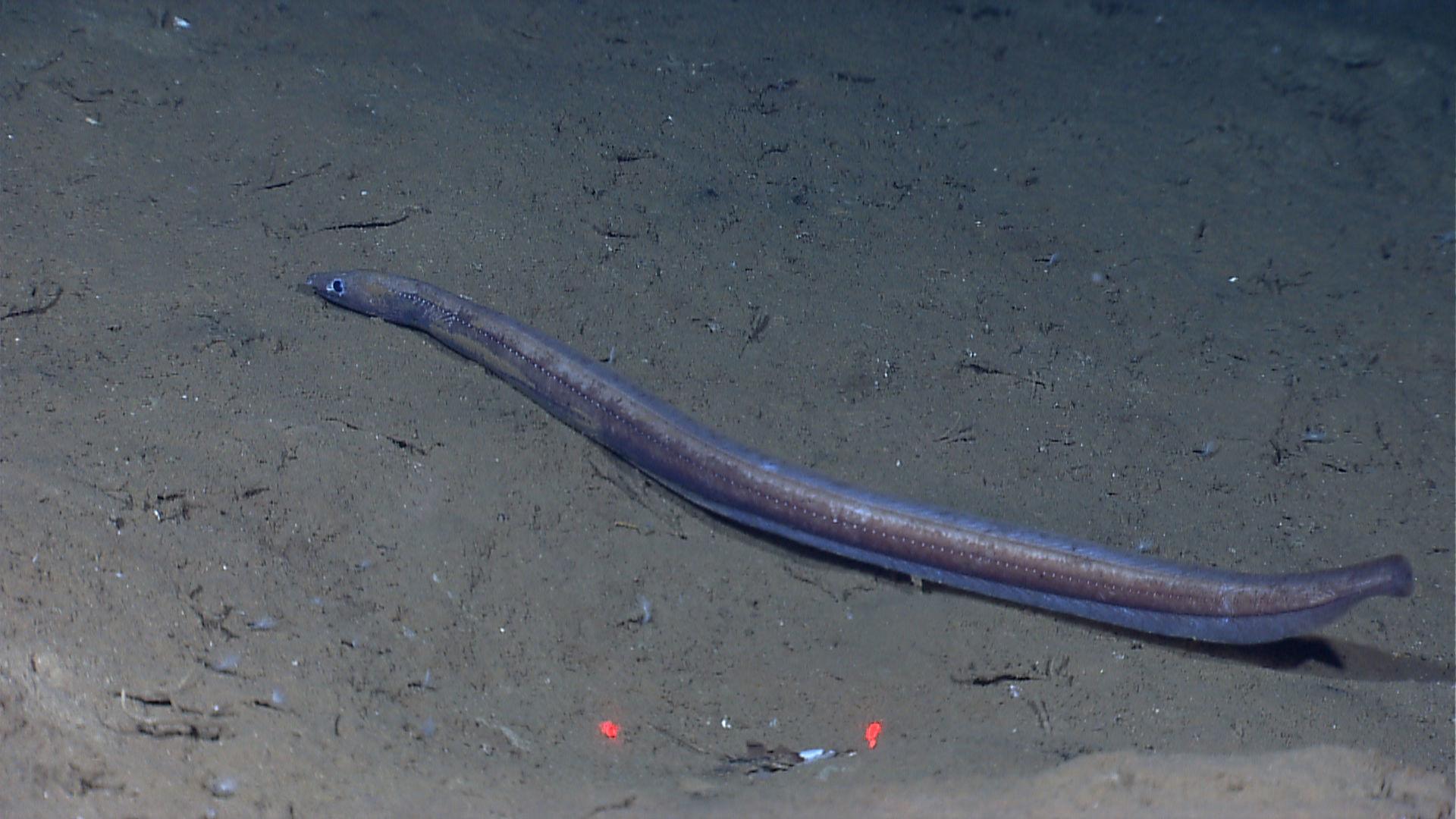Image of Muddy Arrowtooth Eel