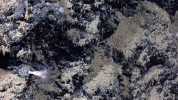 Image of Caillet's Fan Coral