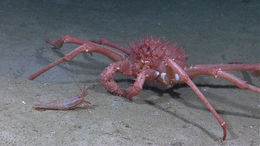 Image of King crab