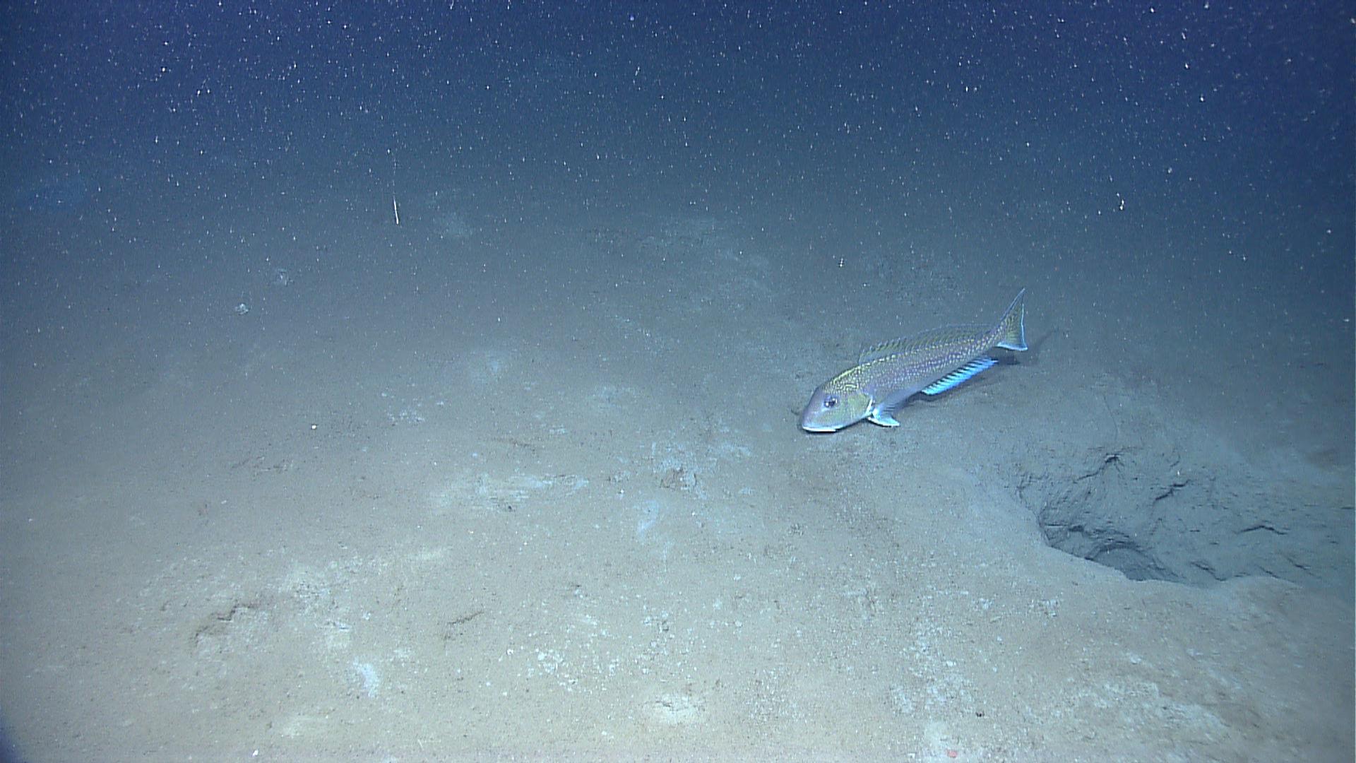 Image of Golden Tilefish