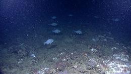 Image of Stout Beardfish
