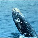 Image of gray whales