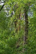 Image of Bigonia americana capreolis donata siliqua breviore