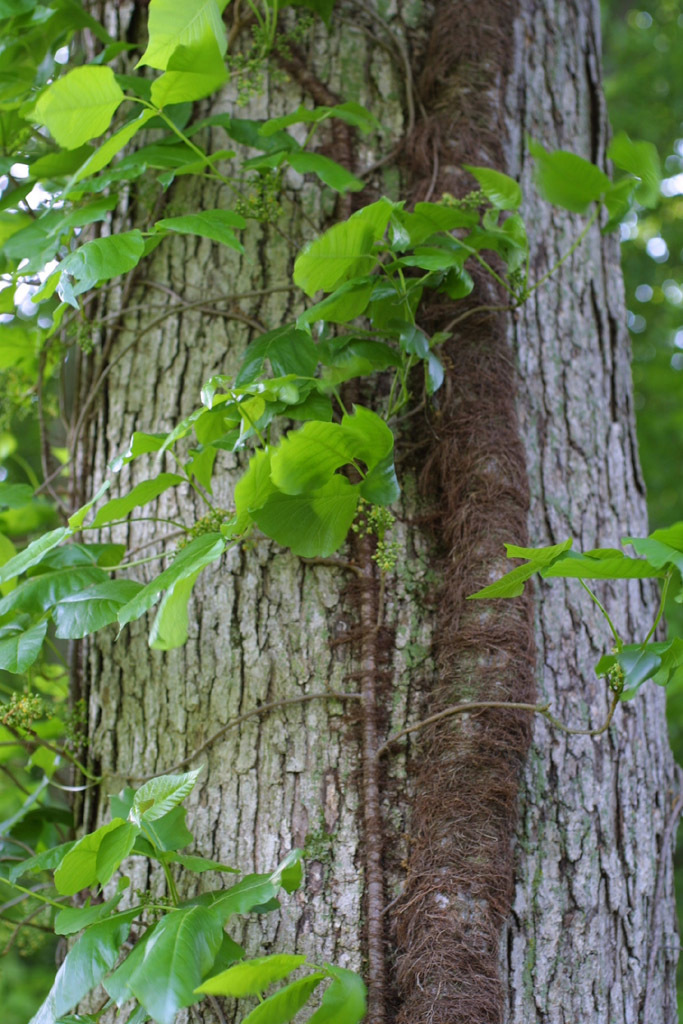 Image of eastern poison ivy