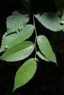 Image of <i>Ulmus rubra</i> Muhl.