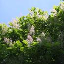 Image of American smoketree