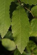 Image of winged elm