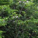 Image of mountain laurel