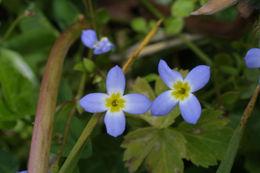 Image of thymeleaf bluet