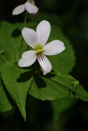 Image of Canadian white violet