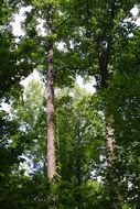 Image of Tulip tree