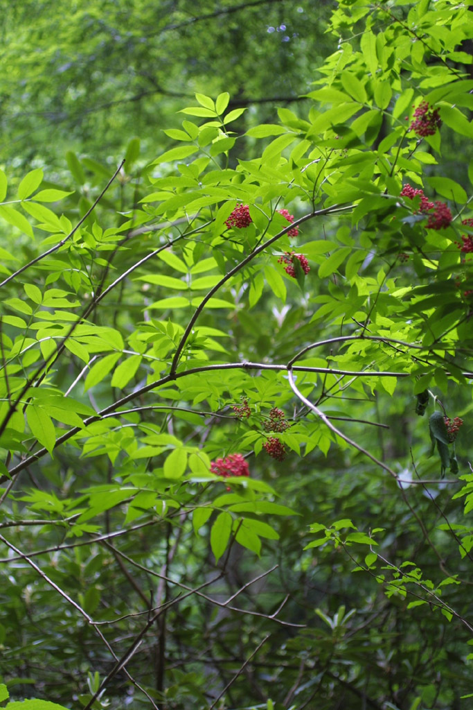 Image of red elderberry