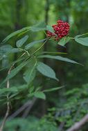 Image of red elderberry