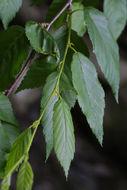 Image of Gray birch