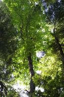 Image of Ear-Leaf Umbrella Tree