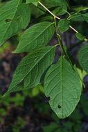 Image of Carolina silverbell