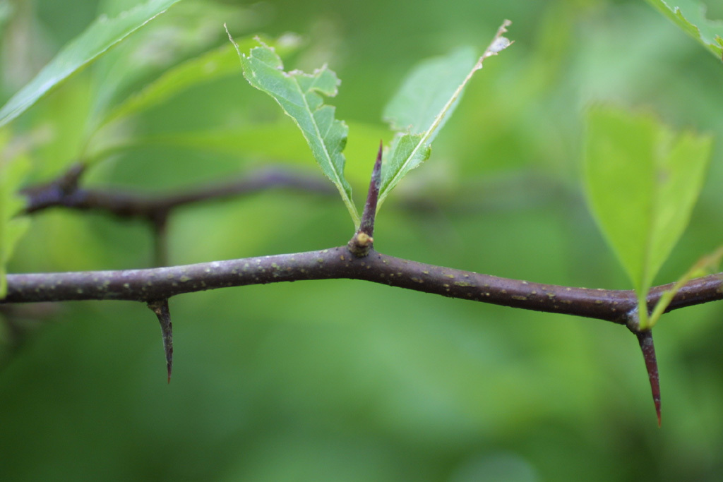 Image of buckthorn bully