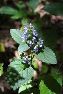 Image of hairy skullcap
