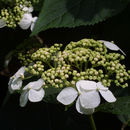 Image of smooth hydrangea