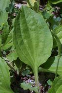 Image of blackseed plantain