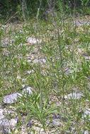 607.http   bioimages vanderbilt edu baskauf 12935.260x190