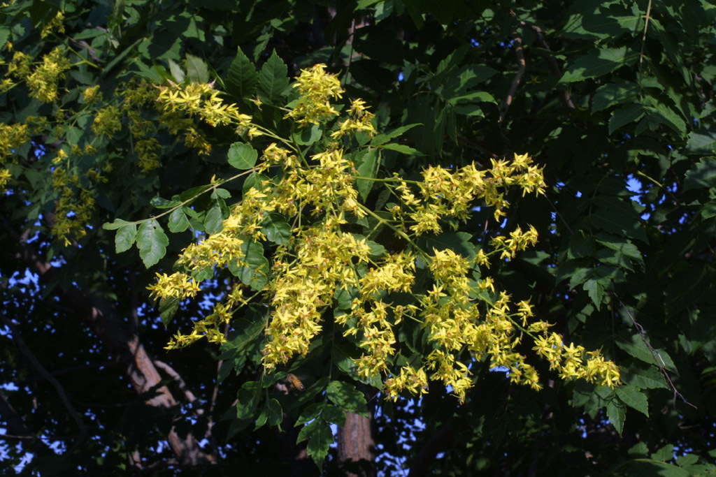 Image of goldenrain tree