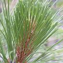 Image of Apache Pine