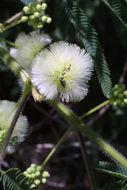 Image of prairie acacia