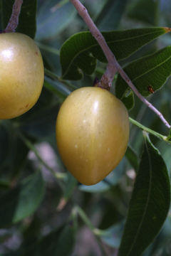Image of western soapberry
