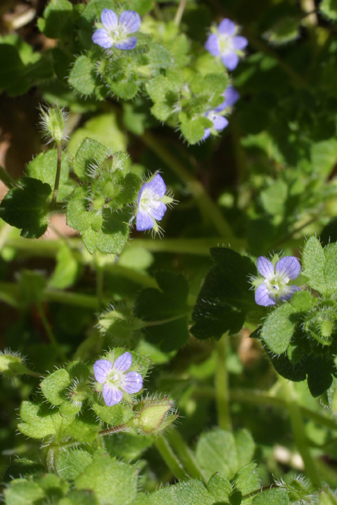 Image of ivy-leaved speedwell