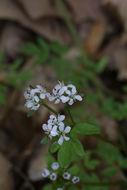 Image of harbinger of spring