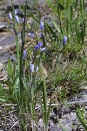 Image of white blue-eyed grass