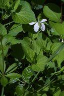 Image of striped cream violet