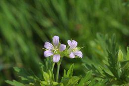 Image of Carolina geranium
