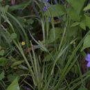 Image of narrowleaf blue-eyed grass