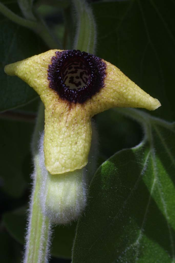 Image of woolly dutchman's pipe