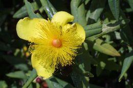 Sivun <i>Hypericum frondosum</i> Michx. kuva