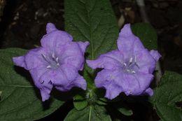Image of Carolina wild petunia