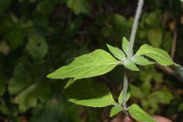 Image of southern mountainmint