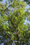 Image of pignut hickory