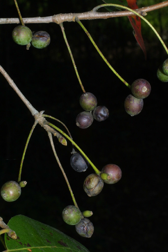 Image of blackgum