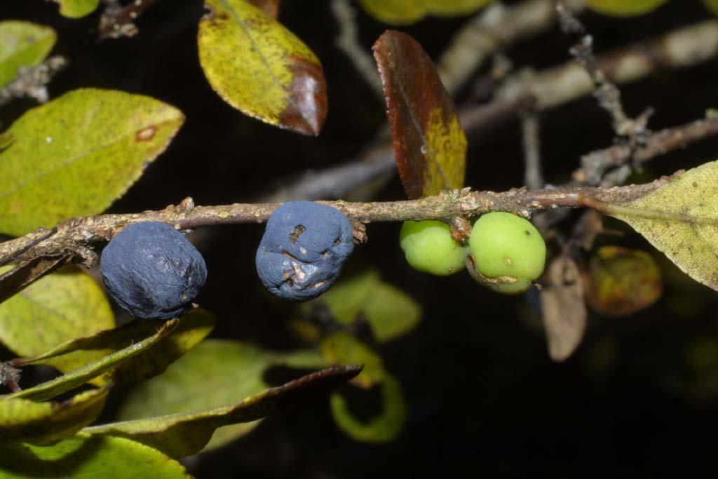 Image of upland swampprivet
