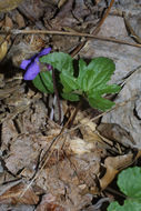 Image of Wood Violets
