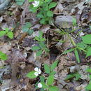 Image of northern dewberry