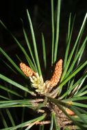 Image of shortleaf pine