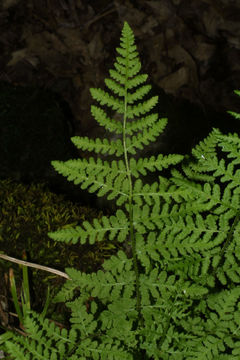 Image of bluntlobe cliff fern