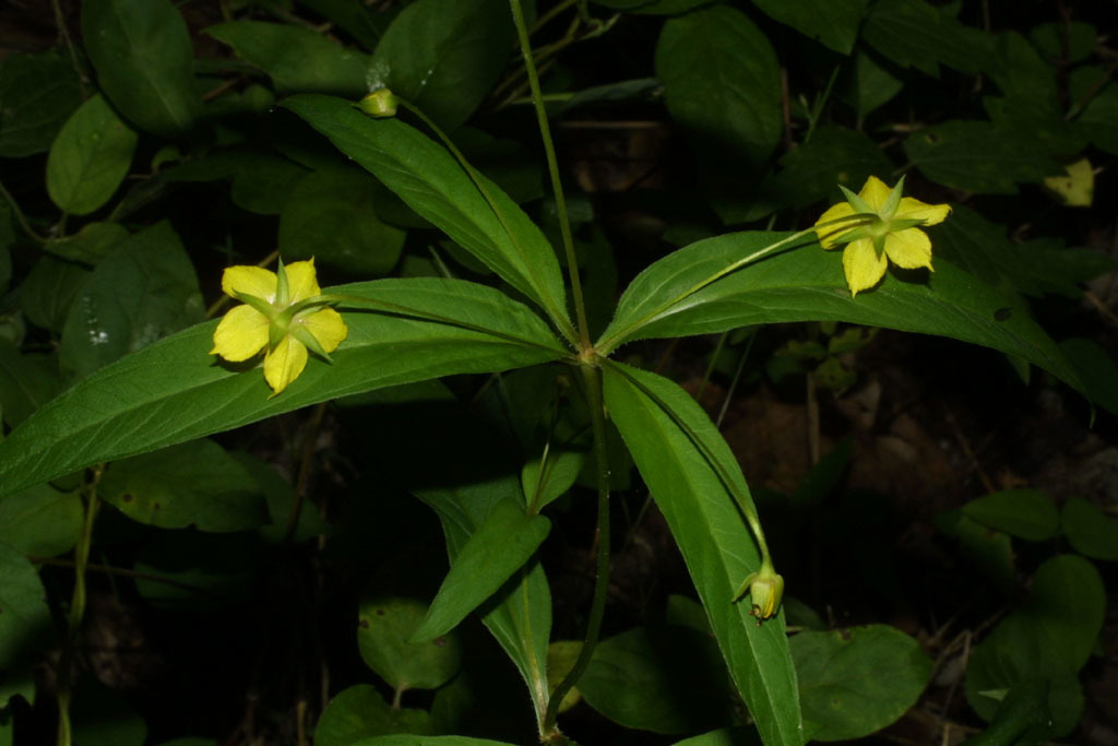 Image of whorled yellow loosestrife