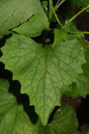 Image of Garlic Mustard