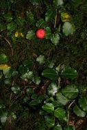 Image of Partridge Berry